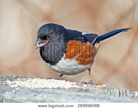 Male Eastern Towhee Eating On Wooden Railing