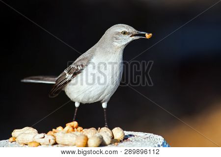 A Juvenile Northern Mockingbird With Peanut In Mouth