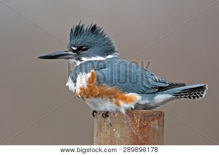 A Female Belted Kingfisher Sitting On Post