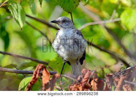 A Juvenile Northern Mockingbird Standing In Shrubs