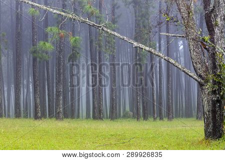 Garden Of Pine Trees At Suan Son Bo Kaew Chiangmai With Foggy Environment In The Morning
