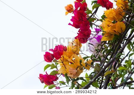Bougainvillea Flower. Bloom  Red And Yellow Bougainvillea On White Background