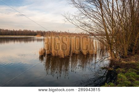 Yellowed Reed Plants Reflected In The Mirror Smooth Water Surface Of A Small Lake In The Netherlands