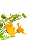 a large green grasshopper sitting on marigold flowers closeup on white background poster
