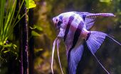 portrait of a freshwater angelfish, popular pet in aquaculture, exotic fish from the amazon basin poster