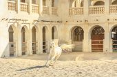Purebred white Arabian horse running in a paddock in Doha city center, Capital of Qatar. The traditional stables are part of old Souq Waqif market area. Middle East, Arabian Peninsula in Persian Gulf. poster