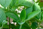 Boldo: Green plant named Boldo da Terra in Brazil. Plant used to make tea e produtos medicinais poster