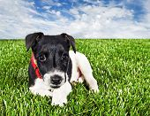 a Cute young pure bred fox terrier dog lying on grass poster