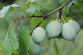 photo of green plums growing on the branch.the fruit is unripe.tree with green foliage.draining a few.seasonal fruits, grow in summer. poster