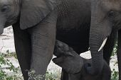Elephant calf, Loxodonta africana , drinking from mother with second elephant at side showing tusks, Kruger National Park, South Africa poster