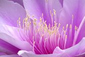 close-up of rare broad-leaved epiphyllum in bloom poster