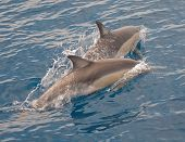 Two Common Dolphins starting to swim apart poster