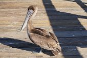 Pelican standing on a dock in the sun poster