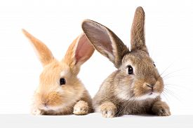 Two Fluffy Bunnies Look At The Signboard. Isolated On White Background Easter Bunny. Red And Gray Ra