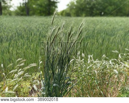 Tall Bush Of Grass. In The Background Is A Field. Grain Plants Of Southern And Eastern Europe. Parti