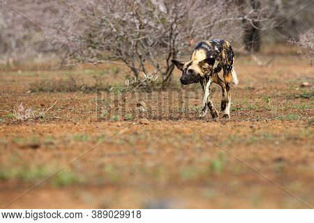 The African Wild Dog, African Hunting Dog, Or African Painted Dog (lycaon Pictus), An Adult Alpha Fe