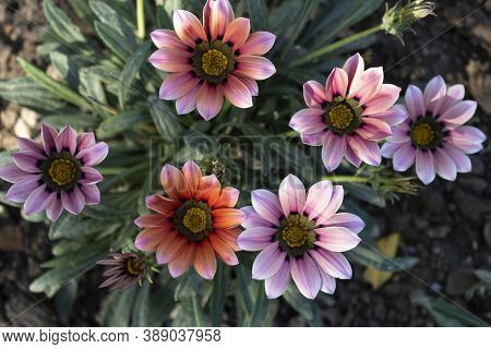 Fall. Beautiful Flowers Of Bright Gazania Are Still Blooming On The Flowerbed.