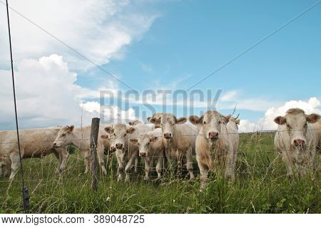 group of white grazing cows
