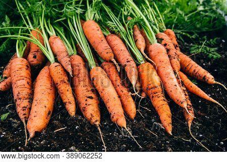 Fresh Carrots. Harvest Organic Carrots On The Ground.