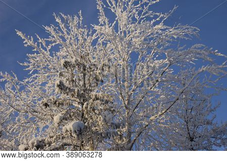 The Tops Of Trees In Frost On The Background Of Bright Blue Sky, The Winter Cold, Trees, Snow, Spruc