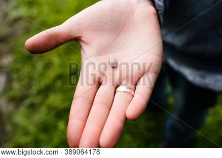 Close-up Of A Tick On The Hand. An Animal Tick Taken From A Dog