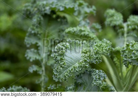 Kale Green Curly  Plant Is Superfood And The Queen Of Food Which Beneficial For Health And High In A