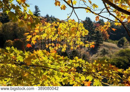 Beautiful autumn colored leaves from Vermont state