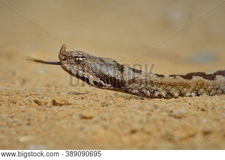 Nose-horned Viper - Vipera Ammodytes Also Horned Viper, Long-nosed Viper, Nose-horned Viper, Sand Vi