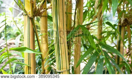 Striped Stalks Of Golden Bamboo Closeup. Raw Materials For The Production Of Bamboo Juice. Bamboo Th