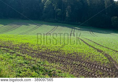 An Agricultural Field With Young Plants Of Vegetables On A Sunny Day In Autumn
