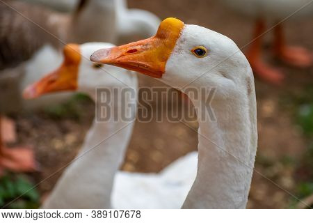 Domestic Swan Goose Is Species Of Goose That Has Been Domesticated Is The Swan Goose, Native To East