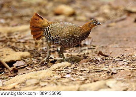 The Sri Lankan Junglefowl (gallus Lafayettii), Also Known As The Ceylon Junglefowl, Female