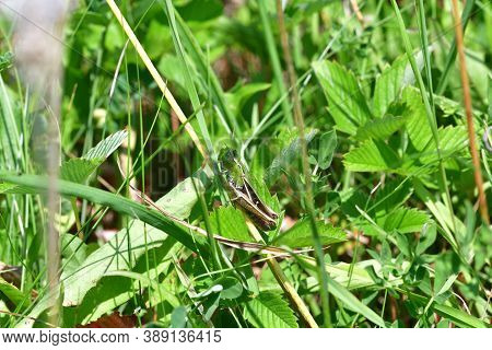 Camouflage Of Green Meadow Grasshoppers In The Grass
