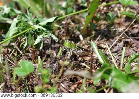 The Meadow Grasshopper Crawling On Green Leaf Macro Photo