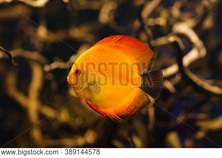 Symphysodon Red Discus Close-up In Amazonian River.