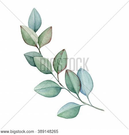 Eucalyptus Brunch With Leaves Watercolor Illustration. Natural Decorative Branch Single Element. Han