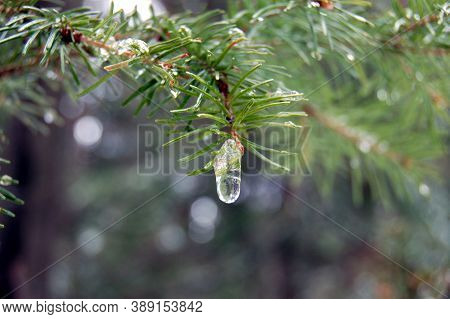 Spruce Branch With Icicle, Spring Forest, Trees Drops