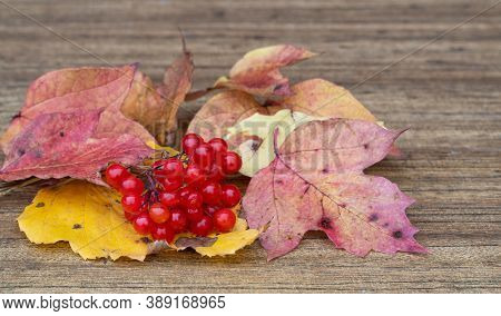 Viburnum Opulus. Clusters Of Red Viburnum On A Wooden Background. Berry On Dry Autumn Leaves