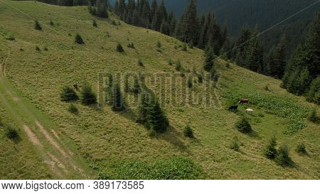 Aerial View Of Cows On The Green Glade. Three Rural Animals Are Grazing In Mountain Valley.