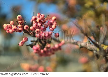 Fall Background In Unusual Colors With Copy Space. Beautiful Autumnal Pink Berries Of Sorbus Vilmori