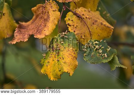 Sick Autumn Yellow Linden Leaves. Lime Nail Gall Mite (eriophyes Tiliae) Disease On Yellow Linden Le
