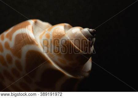 Babylon Snail Shell Macro Close Up, Selective Focus