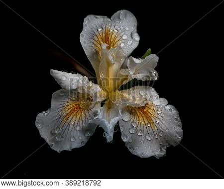 African Iris, Dietes Iridioides, On Black Background, Top View, With Water Drops. This An Ornamental