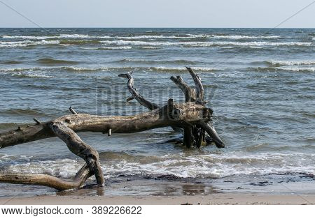 Dead Bizarre Trees In The Shallow Waters Of Cape Kolka, Baltic Sea In Latvia.