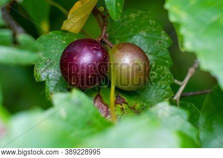 A Pair Of Muscadines (vitis Rotundifolia). Raliegh, North Carolina.