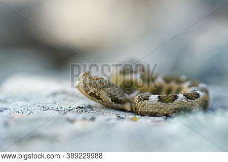 Nose-horned Viper - Vipera Ammodytes Also Horned Or Long-nosed Viper, Nose-horned Viper Or Sand Vipe