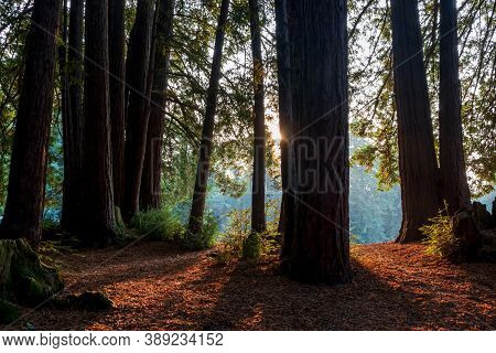 Redwood Forest Landscape In Beautiful Northern California. Mt Madonna County Park Near Gilroy, Calif