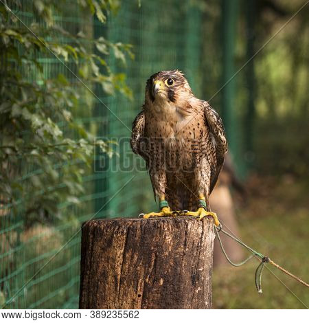 The Bonding Brown Falcon Bird Of Prey Is Sitting On Tree Trunk, Falconry And Falcon Breeding Concept