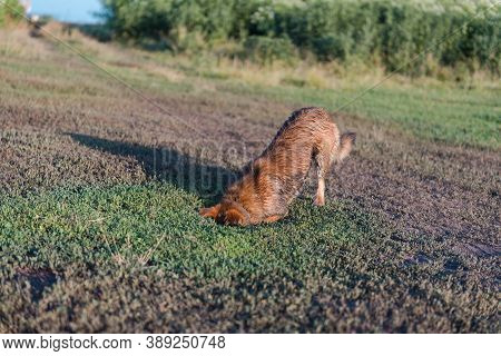The Dog Digs A Hole. A Pet. Ginger Dog Digs The Ground. Dirty Dog. Dog In The Ground. Head In The Gr