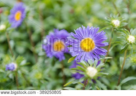 Asters In The Garden. Beautiful White And Purple Flowers. Grow Asters In The Garden. Flower Bud. Per